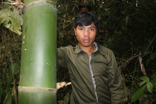 Cận cảnh loài tre khổng lồ, báu vật trên núi cao Quảng Nam - 3
