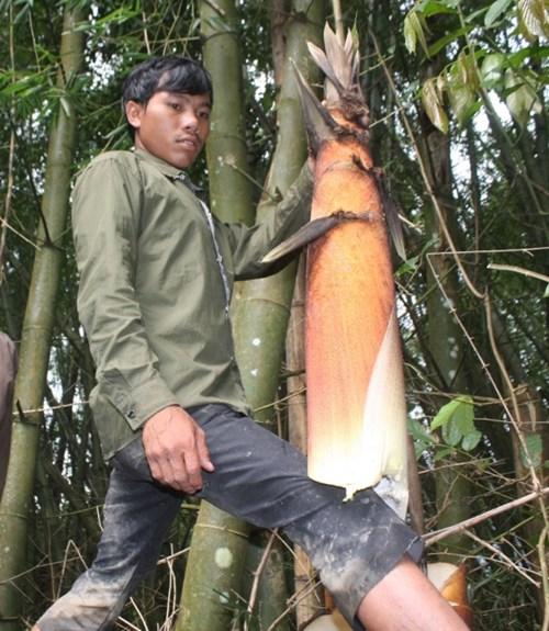 Cận cảnh loài tre khổng lồ, báu vật trên núi cao Quảng Nam - 5