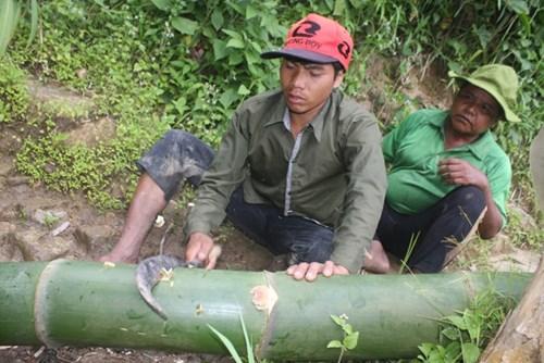 Cận cảnh loài tre khổng lồ, báu vật trên núi cao Quảng Nam - 6