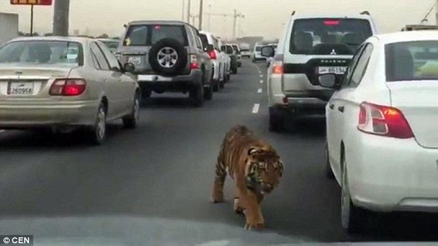 Hổ tuột xích đi lại nhởn nhơ trên phố ở Qatar - 1