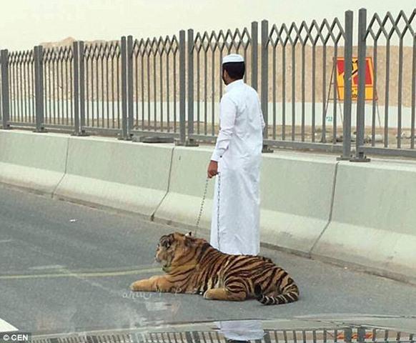 Hổ tuột xích đi lại nhởn nhơ trên phố ở Qatar - 3