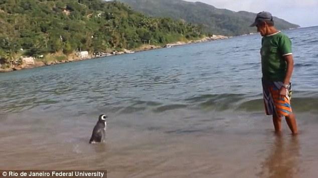 Chim cánh cụt bơi 8.000 km về thăm ân nhân - 5