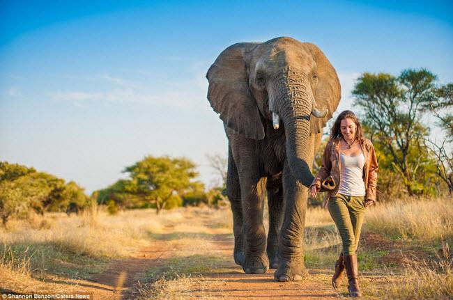 Shannon tự tin đồng hành cùng một con voi khổng lồ cho dù cô từng bị loài động vật này truy đuổi trước đó.