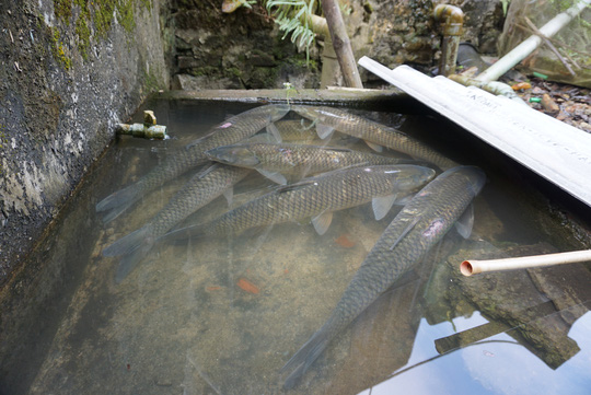 Độc đáo món cá xào trên núi - 1