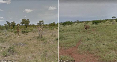 Xem vườn thú safari lớn nhất Nam Phi qua ứng dụng Google - 7