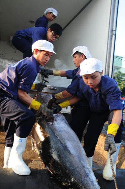 Đánh bắt cá ngừ kiểu Nhật gặp khó - 1
