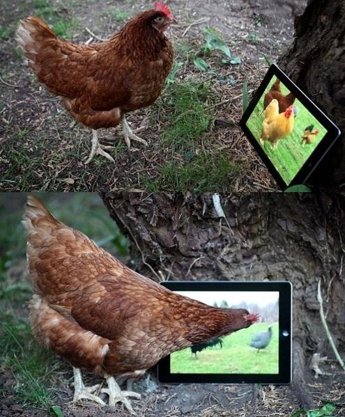 Những giống gà độc nhất vô nhị gây xôn xao - 14