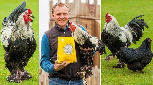 Những giống gà độc nhất vô nhị gây xôn xao - 11