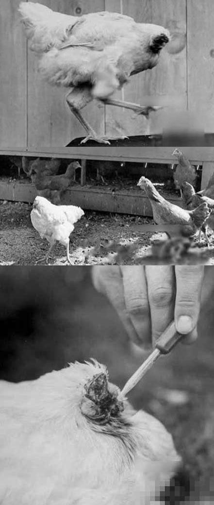 Những giống gà độc nhất vô nhị gây xôn xao - 9
