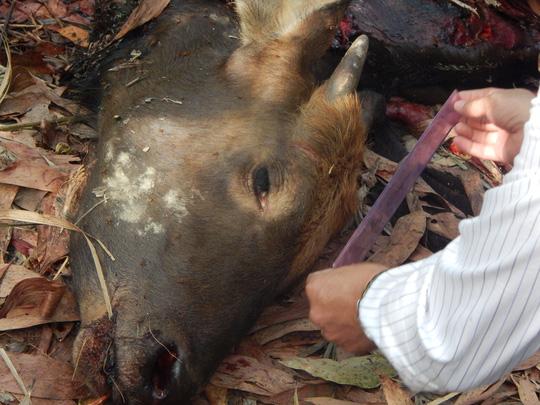Bắt 2 nghi phạm bắn chết bò tót ở Đồng Nai - 1