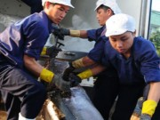 Thị trường - Tiêu dùng - Đánh bắt cá ngừ kiểu Nhật gặp khó
