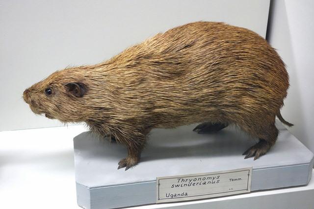 Ghê rợn chuột khổng lồ dài 1,2m ở Anh - 2