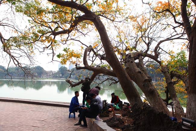 Vào thời khắc giao mùa giữa xuân và hạ,cây lộc vừng 9 gốc bên Hồ Gươm lại chuyển màuthay lá, nổi bật cả một góc hồ.