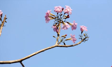 Hoa kèn hồng khoe sắc trên phố Sài Gòn - 10