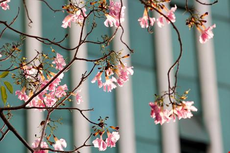 Hoa kèn hồng khoe sắc trên phố Sài Gòn - 11