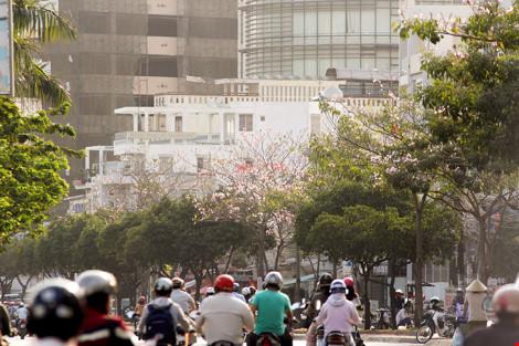 Hoa kèn hồng khoe sắc trên phố Sài Gòn - 1