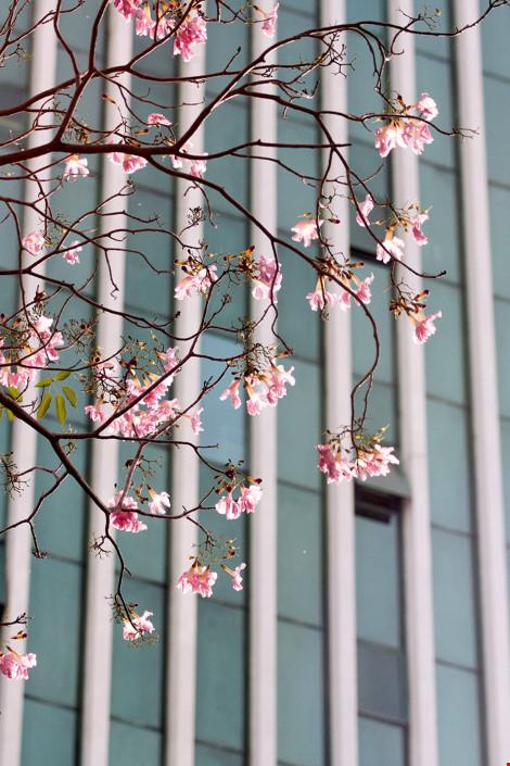 Hoa kèn hồng khoe sắc trên phố Sài Gòn - 2