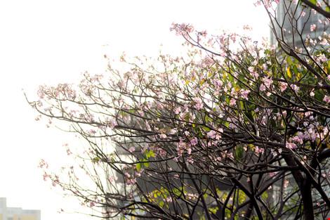 Hoa kèn hồng khoe sắc trên phố Sài Gòn - 3