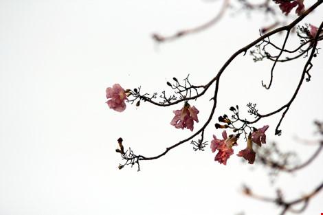 Hoa kèn hồng khoe sắc trên phố Sài Gòn - 4