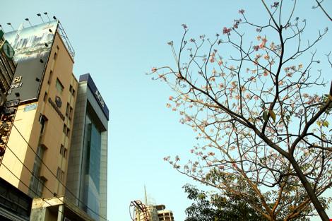 Hoa kèn hồng khoe sắc trên phố Sài Gòn - 6