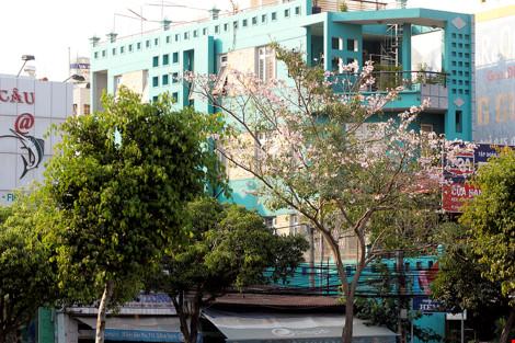 Hoa kèn hồng khoe sắc trên phố Sài Gòn - 8