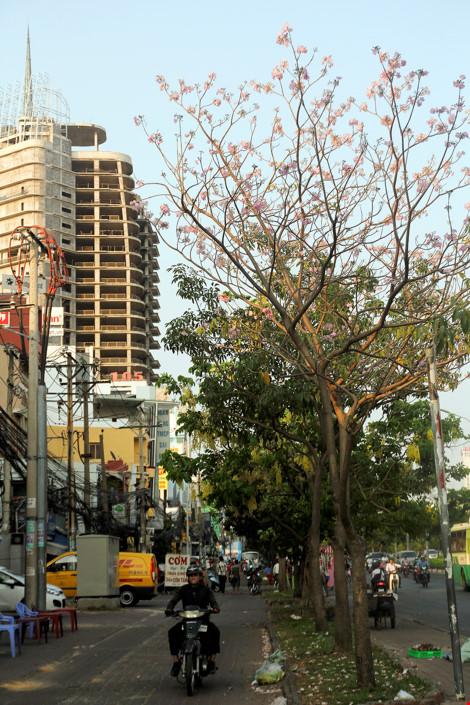 Hoa kèn hồng khoe sắc trên phố Sài Gòn - 9