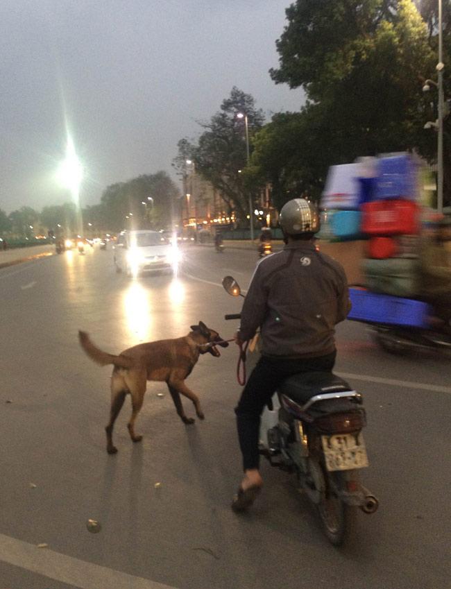 """Chó dữ """"ngông nghênh"""" đi lại khắp Thủ đô - 1"""