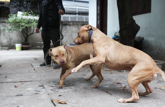 """Chó dữ """"ngông nghênh"""" đi lại khắp Thủ đô - 8"""
