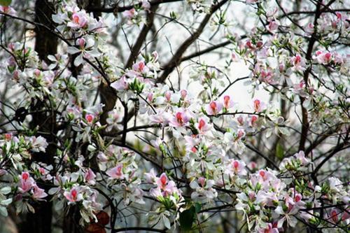 Hà Nội tháng 3- thành phố mùa hoa đẹp nhất miền Bắc - 9