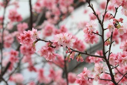 Hà Nội sắp trưng bày 10.000 cành hoa anh đào - 1