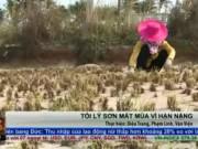 Thị trường - Tiêu dùng - Tỏi Lý Sơn mất mùa vì hạn nặng