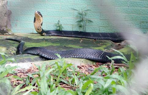 """Tận thấy 4 con rắn hổ chúa """"khủng"""" nhất trại rắn miền Tây - 1"""