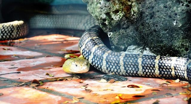 """Tận thấy 4 con rắn hổ chúa """"khủng"""" nhất trại rắn miền Tây - 3"""