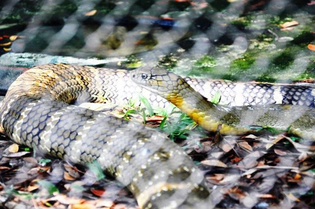 """Tận thấy 4 con rắn hổ chúa """"khủng"""" nhất trại rắn miền Tây - 8"""