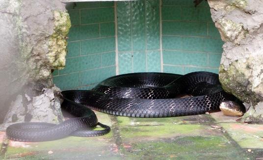 """Tận thấy 4 con rắn hổ chúa """"khủng"""" nhất trại rắn miền Tây - 4"""