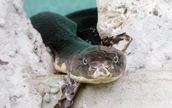 """Tận thấy 4 con rắn hổ chúa """"khủng"""" nhất trại rắn miền Tây - 5"""