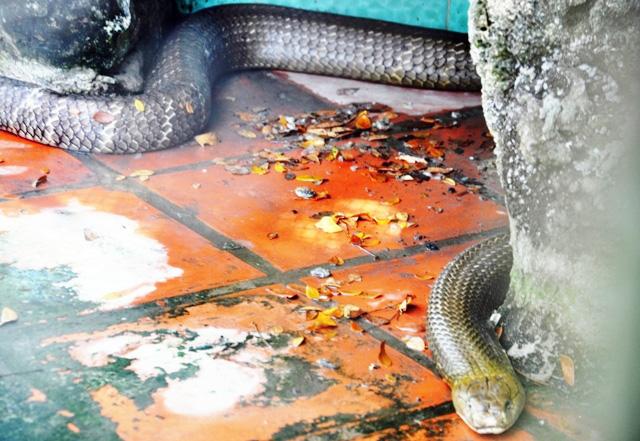 """Tận thấy 4 con rắn hổ chúa """"khủng"""" nhất trại rắn miền Tây - 6"""