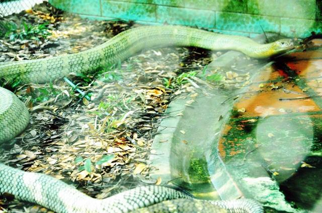 """Tận thấy 4 con rắn hổ chúa """"khủng"""" nhất trại rắn miền Tây - 7"""