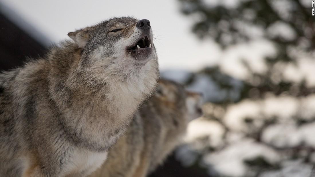 Ở nơi du khách được hôn chó sói - 1