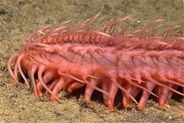 Những loài động vật biển kỳ lạ nhất Trái Đất - 4