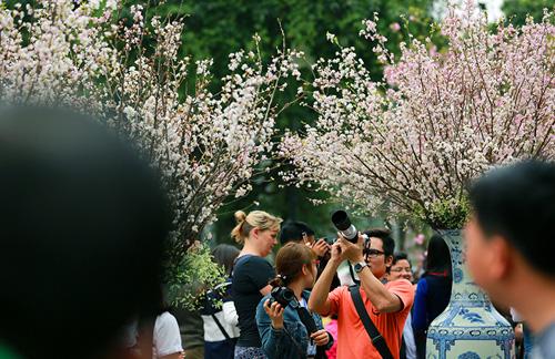 Ngắm hoa anh đào Nhật Bản khoe sắc giữa Thủ đô - 1