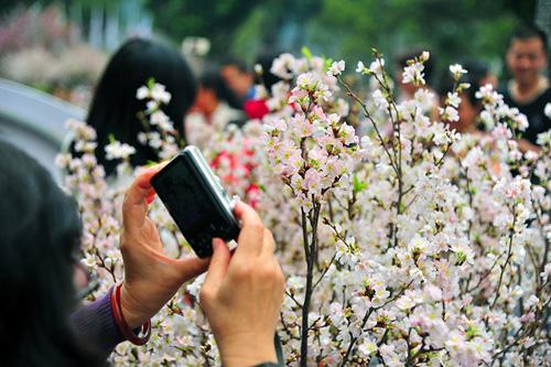 Ngắm hoa anh đào Nhật Bản khoe sắc giữa Thủ đô - 4