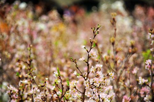 Ngắm hoa anh đào Nhật Bản khoe sắc giữa Thủ đô - 8