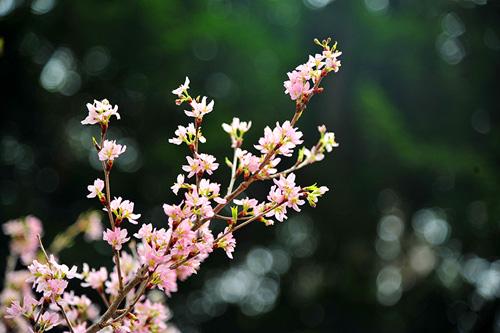 Ngắm hoa anh đào Nhật Bản khoe sắc giữa Thủ đô - 10