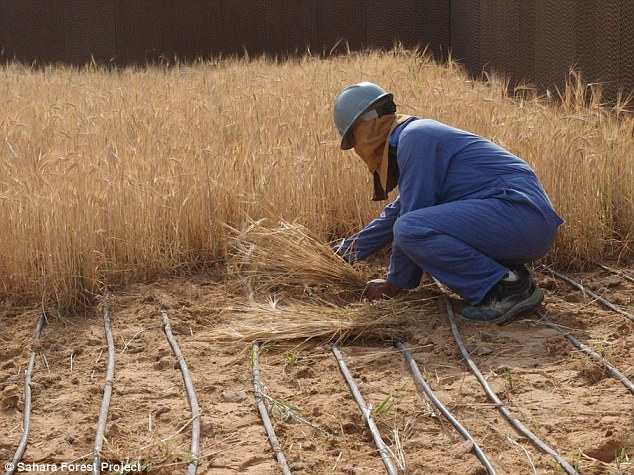 """Bắt sa mạc Sahara """"đẻ"""" ra rau xanh, nước sạch quanh năm - 2"""