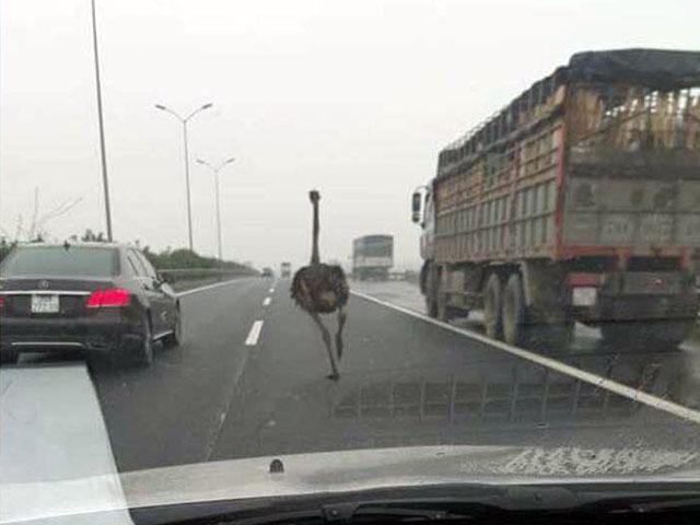 """Đà điểu """"đua"""" cùng xế hộp trên cao tốc Pháp Vân-Cầu Giẽ - 1"""