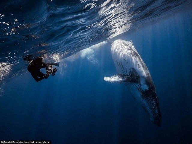Chiêm ngưỡng toàn cảnh cá voi 40 tấn bơi lội dưới biển - 2