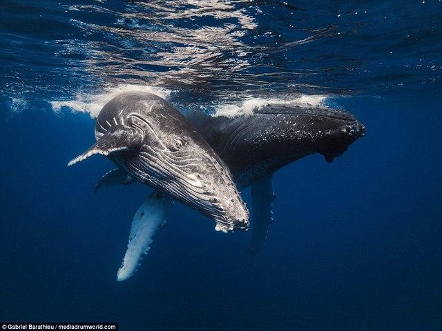 Chiêm ngưỡng toàn cảnh cá voi 40 tấn bơi lội dưới biển - 5