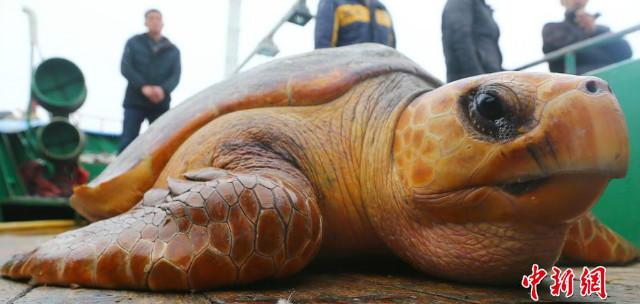 """Từ chối 1500USD, thả """"cụ rùa"""" khổng lồ trăm tuổi về biển - 1"""