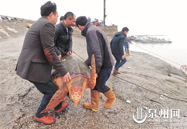 """Từ chối 1500USD, thả """"cụ rùa"""" khổng lồ trăm tuổi về biển - 4"""